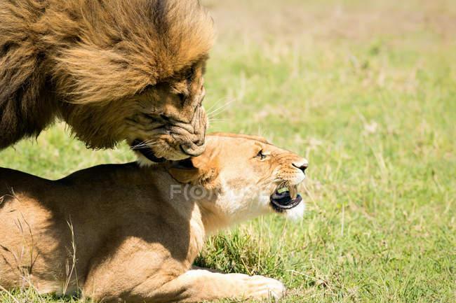 Спаривания Львов на траве — стоковое фото