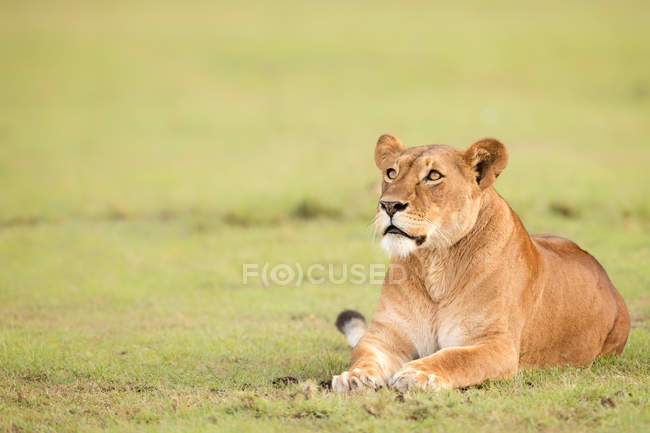 Lioness lying on grass in the wild — Stock Photo