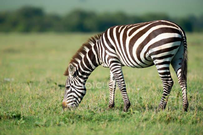 Zebra grazing on meadow — Stock Photo