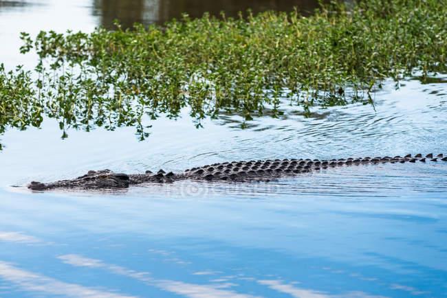 Salzwasser-Krokodil in Wasser getaucht — Stockfoto