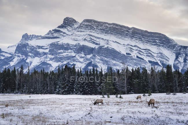 Зимний пейзаж с дикими лоси — стоковое фото