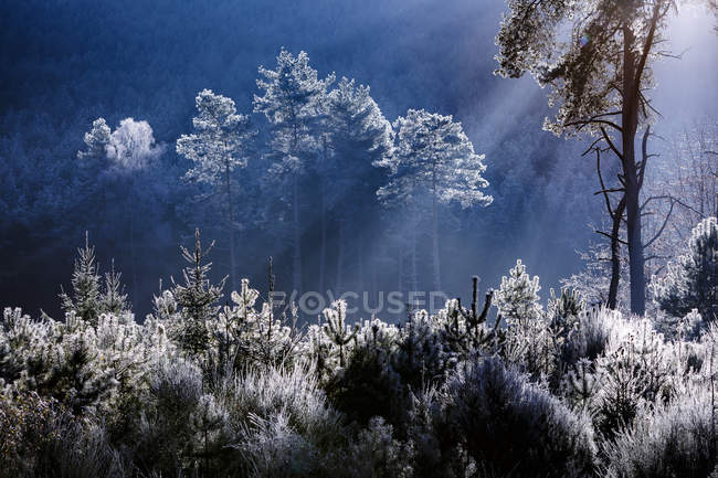 Frost covered trees in forest — Stock Photo