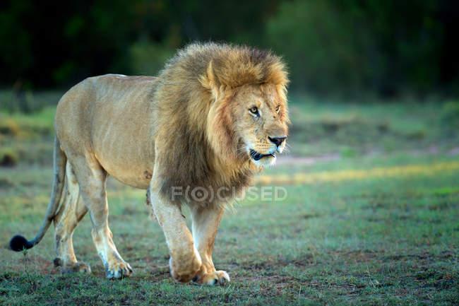 Un avviso di leone maschio che cammina sull'erba — Foto stock