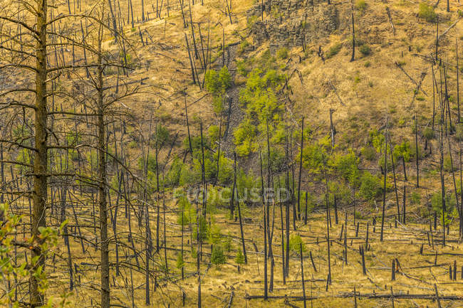 Damaged trees after forest fire — Stock Photo