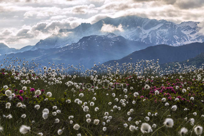Rhododendrons and cotton grass meadow — Stock Photo