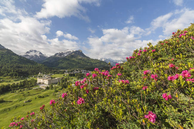 Rhododendrons wildflowers in bloom — Stock Photo