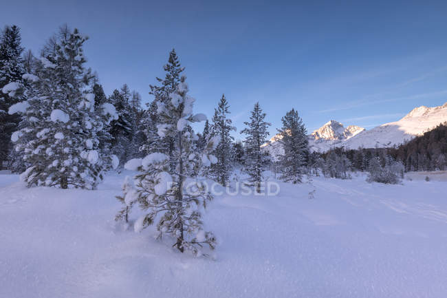 Snow covered firs — Stock Photo