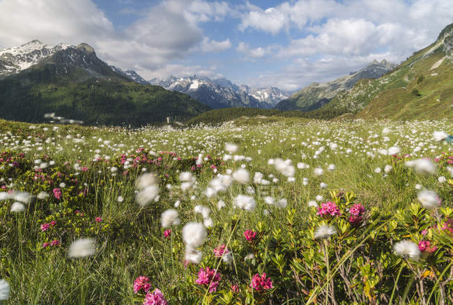 Meadows of rhododendrons and cotton grass — Stock Photo