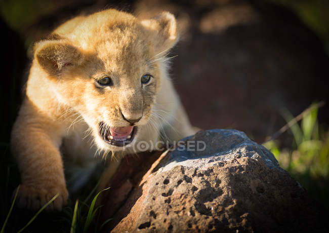 Lion cub with open mouth on rock — Stock Photo