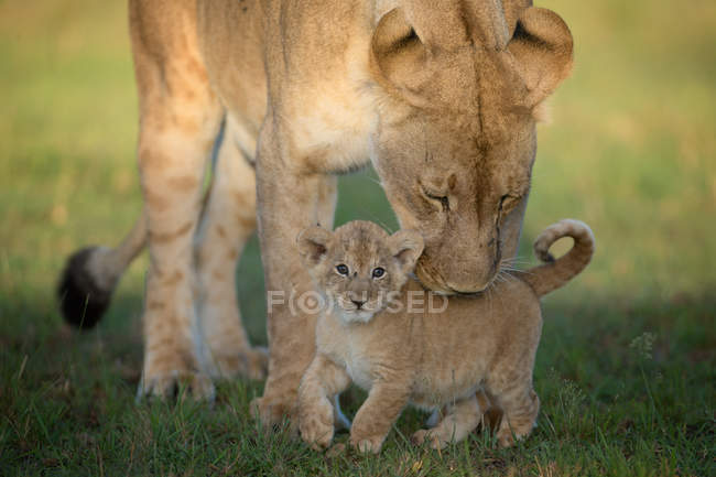 Lioness with cub standing on grass — Stock Photo