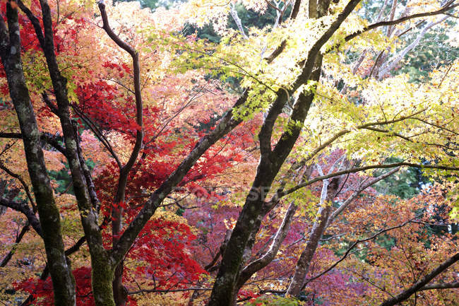 Japanese maple trees in autumn — Stock Photo