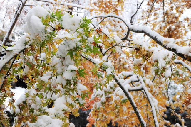 Снег на кленовые листья дерева — стоковое фото