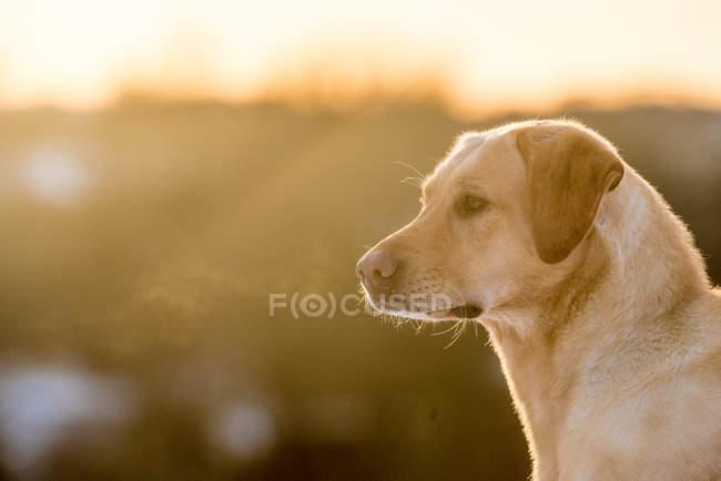 Labrador dourado, olhando de soslaio na natureza — Fotografia de Stock