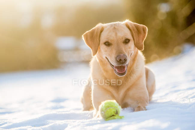 Golden Labrador couché dans la neige — Photo de stock