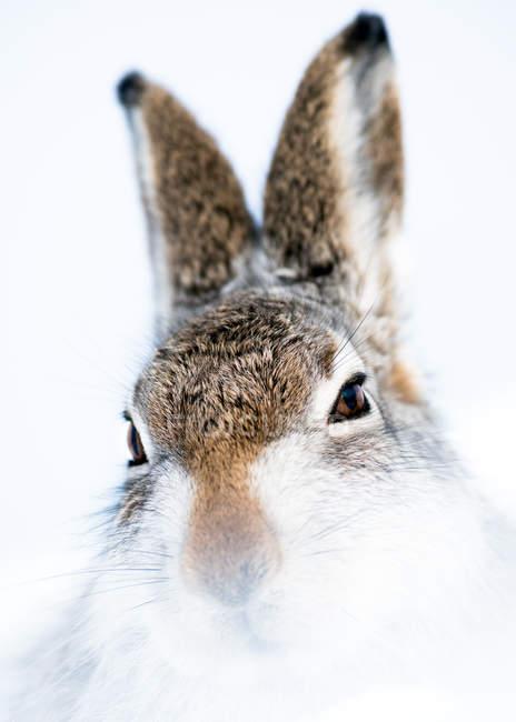 Заяц-беляк в зимний снег — стоковое фото