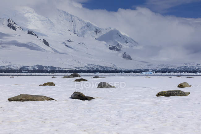 Phoques de Weddell endormis — Photo de stock