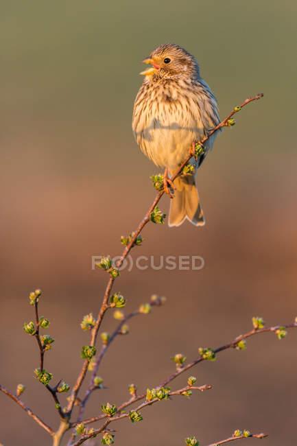 Кукуруза Бантинг птица — стоковое фото