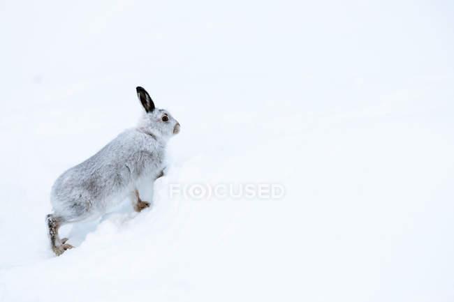 Lepus timidus nella neve di inverno — Foto stock