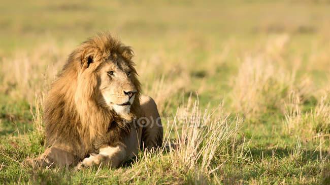 Leone maschio che si trova nella natura selvaggia — Foto stock