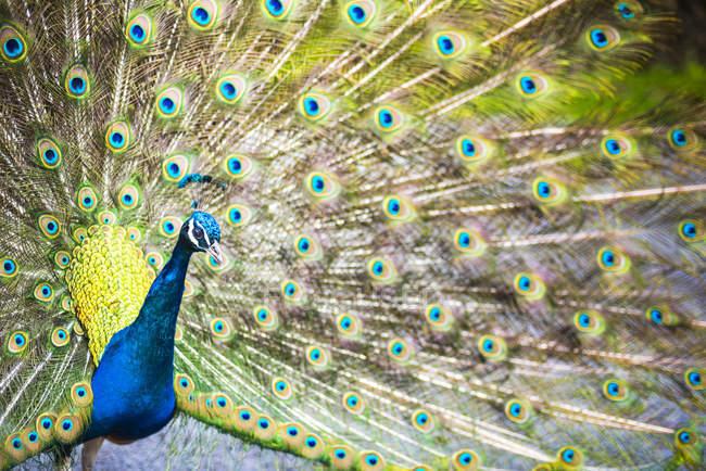 Павлин с радужным рулевых перьев — стоковое фото