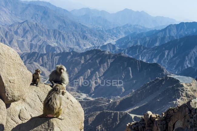 Babuínos sentado na montanha penhasco, Abha, Arábia Saudita, Oriente Médio — Fotografia de Stock