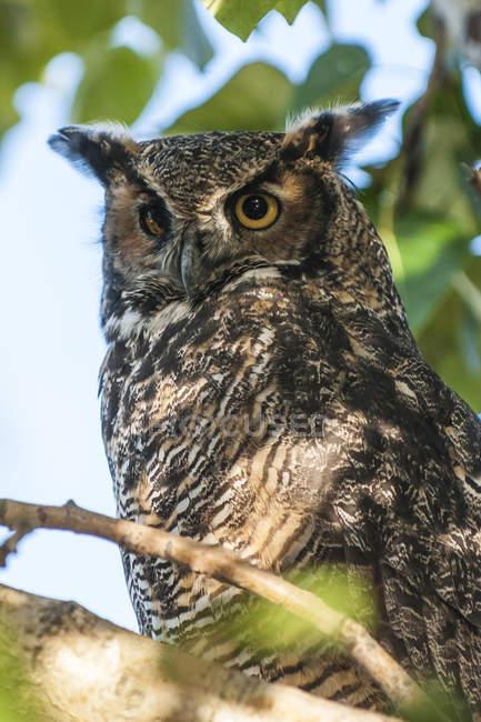 Gros plan de l'américain Great Horned owl se percher sur une branche d'arbre — Photo de stock