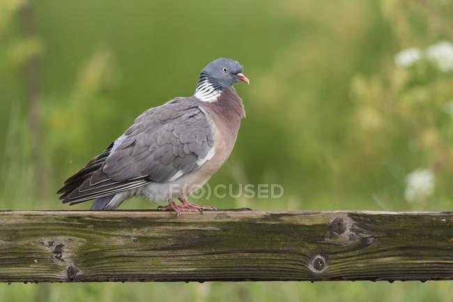 Gros plan du pigeon ramier, perché sur une clôture — Photo de stock