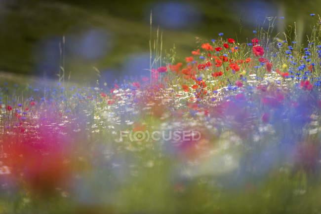 Wildflower meadow of poppies, cornflowers and ox-eye daisies — Stock Photo