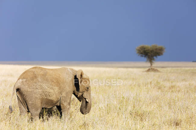African elephant walking in Serengeti National Park, Tanzania, East Africa, Africa — Stock Photo