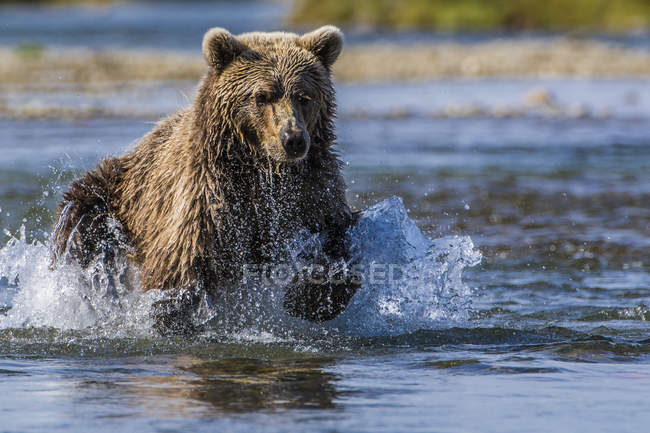 Grizzly bear running in Moraine Creek, Katmai National Park and Reserve, Alaska, USA — Stock Photo
