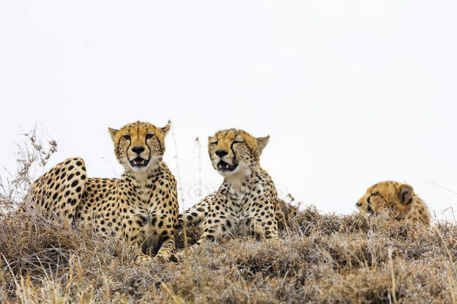 Cheetahs lying in grass, Tanzania, East Africa, Africa — Foto stock