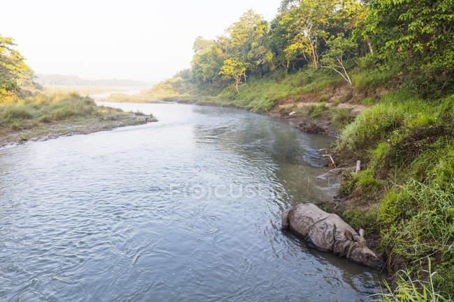 Индийский носорог, спал в речных, Национальный парк Читван, Непал, Азии — стоковое фото