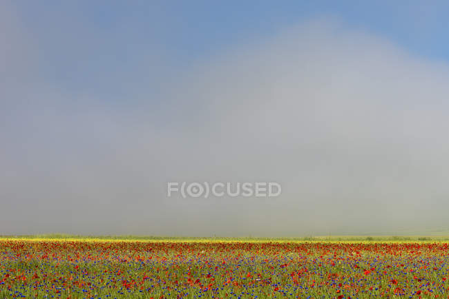 Wildflower meadow of poppies and cornflowers in morning mist — Stock Photo