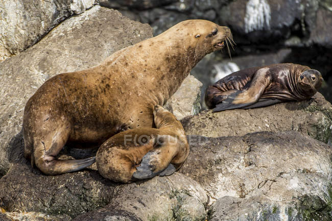 Northern fur seals lying on rocks — Stock Photo
