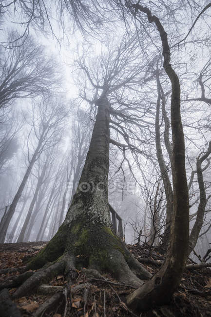 Bare trees in misty autumn forest — Stock Photo