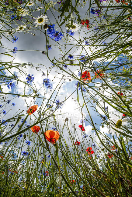 Poppies and cornflowers in bloom with cloudy sky on background — Stock Photo