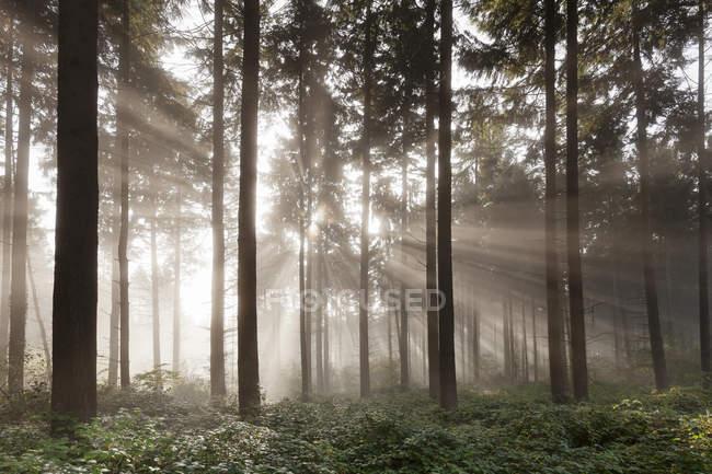 Rayons de soleil dans la forêt de sapin brumeux — Photo de stock