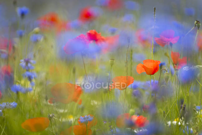 Wildflower meadow of blooming poppies and cornflowers — Stock Photo