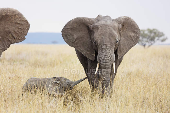 Bebé elefante africano y madre en la sabana, Parque Nacional del Serengeti, Tanzania, África del este, África - foto de stock