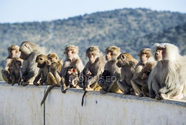 Babuínos sentado no Monte Souda, Abha, Arábia Saudita, Oriente Médio — Fotografia de Stock