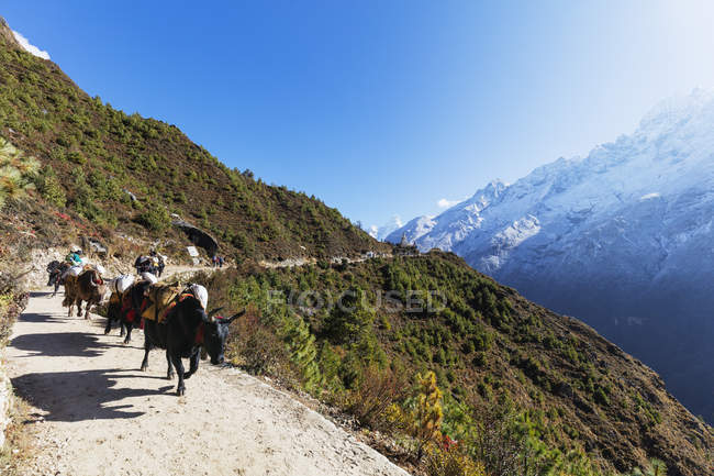 Yaks on the Everest base camp trail, Sagarmatha National Park, Khumbu Valley, Nepal, Himalayas, Asia — Foto stock