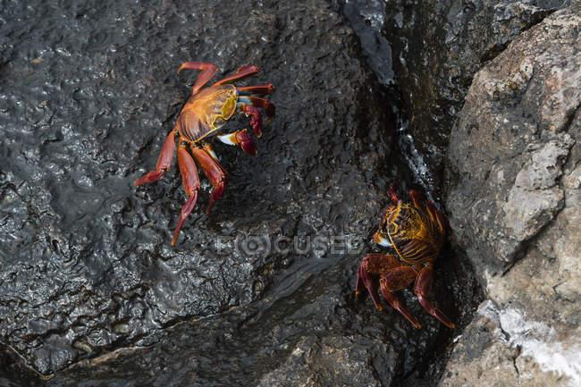 Салли Лайтфут крабов на мокрой рок — стоковое фото