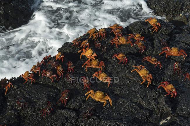 Sally Lightfoot Krabben auf nassen Felsen — Stockfoto