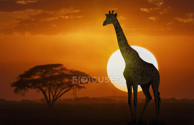 Giraffe standing at sunset in Amboseli National Park, Kenya, East Africa, Africa — Stock Photo