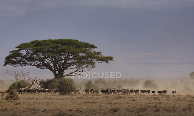 Cattle returning from a drinking waterhole in Amboseli National Park, Kenya, East Africa, Africa — Stock Photo
