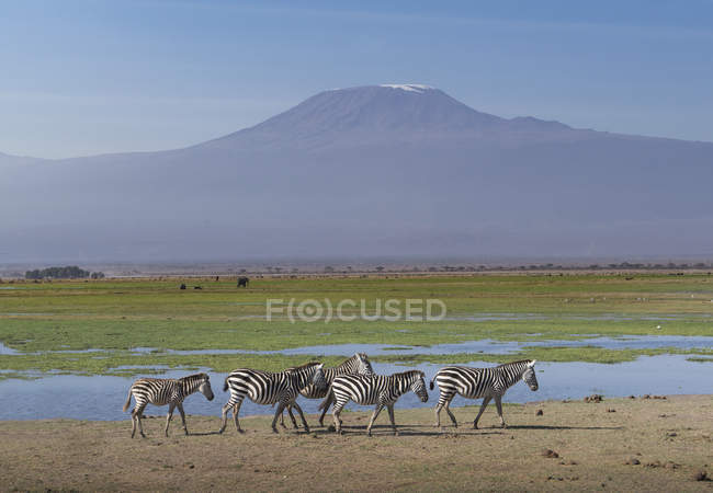Zebras under Mount Kilimanjaro in Amboseli National Park, Kenya, East Africa, Africa — Stock Photo