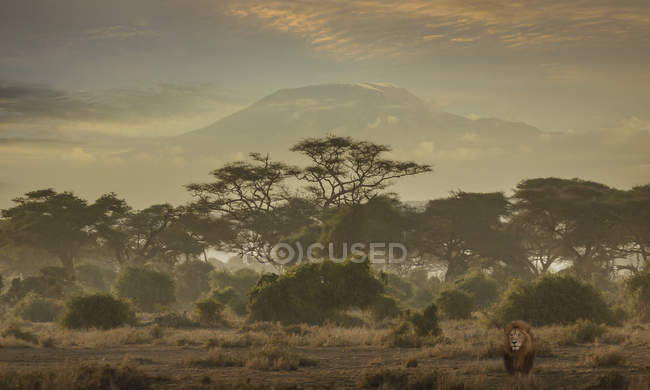 Lion under Mount Kilimanjaro in Amboseli National Park, Kenya, East Africa, Africa — Stock Photo