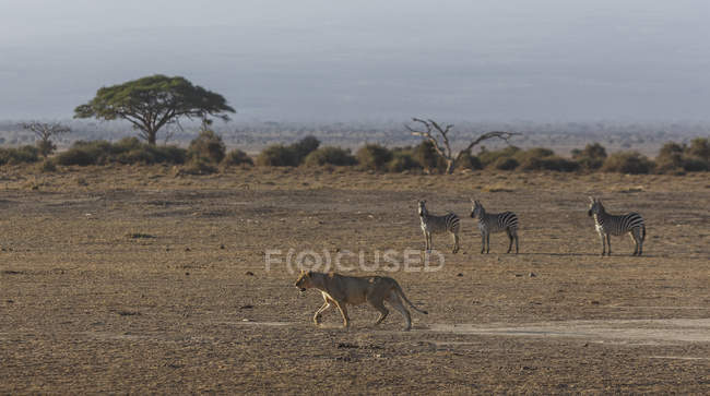 Zebras watching a lioness in Amboseli National Park, Kenya, East Africa, Africa — Stock Photo