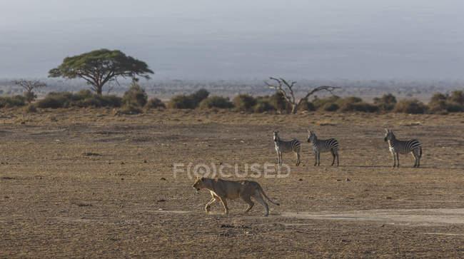 Cebras viendo una Leona en el Parque Nacional de Amboseli, Kenia, África Oriental, África - foto de stock