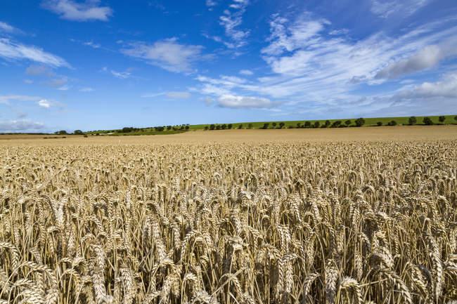 Maturazione dei campo di frumento e cielo blu in Northumberland, Inghilterra, Regno Unito — Foto stock